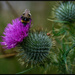 Thistle bee for the nectar
