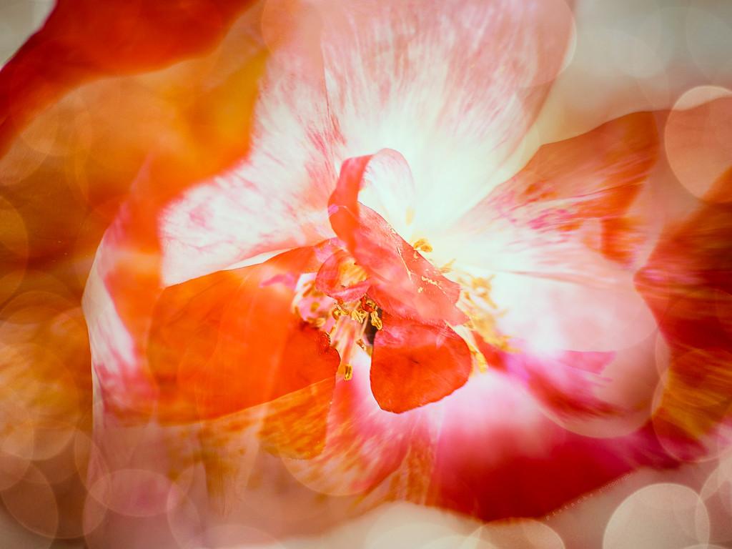 poppy in triplicate by pistache