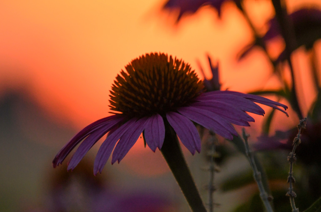 Coneflower at Sunset by kareenking
