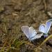 Blue Butterflies  by jgpittenger