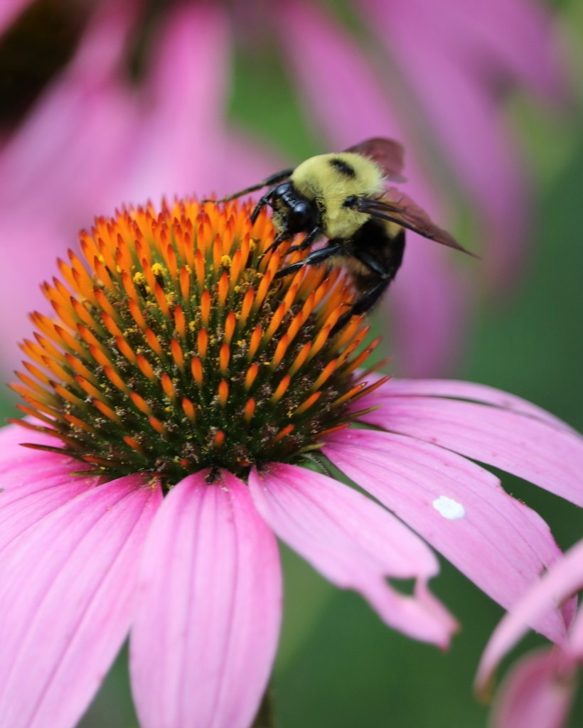 July 10: Bumblebee on Cone Flower by daisymiller