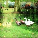 A Day for Ducks by olivetreeann