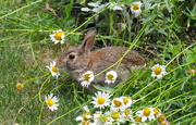 10th Jul 2020 - Bunny in the daisies.