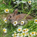 Bunny in the daisies.  by sailingmusic