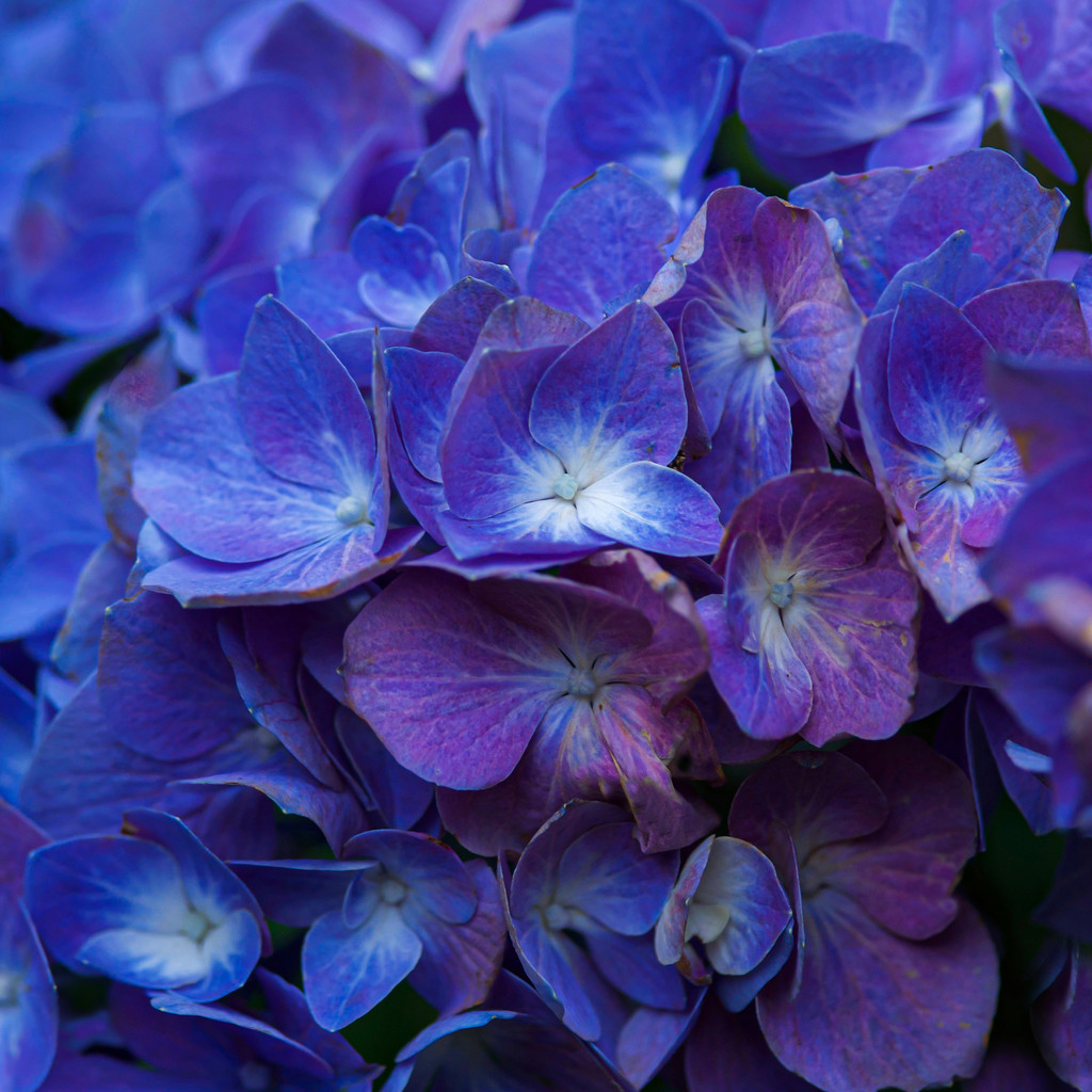 Hydrangea blue and purple by berelaxed