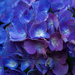 Hydrangea blue and purple
