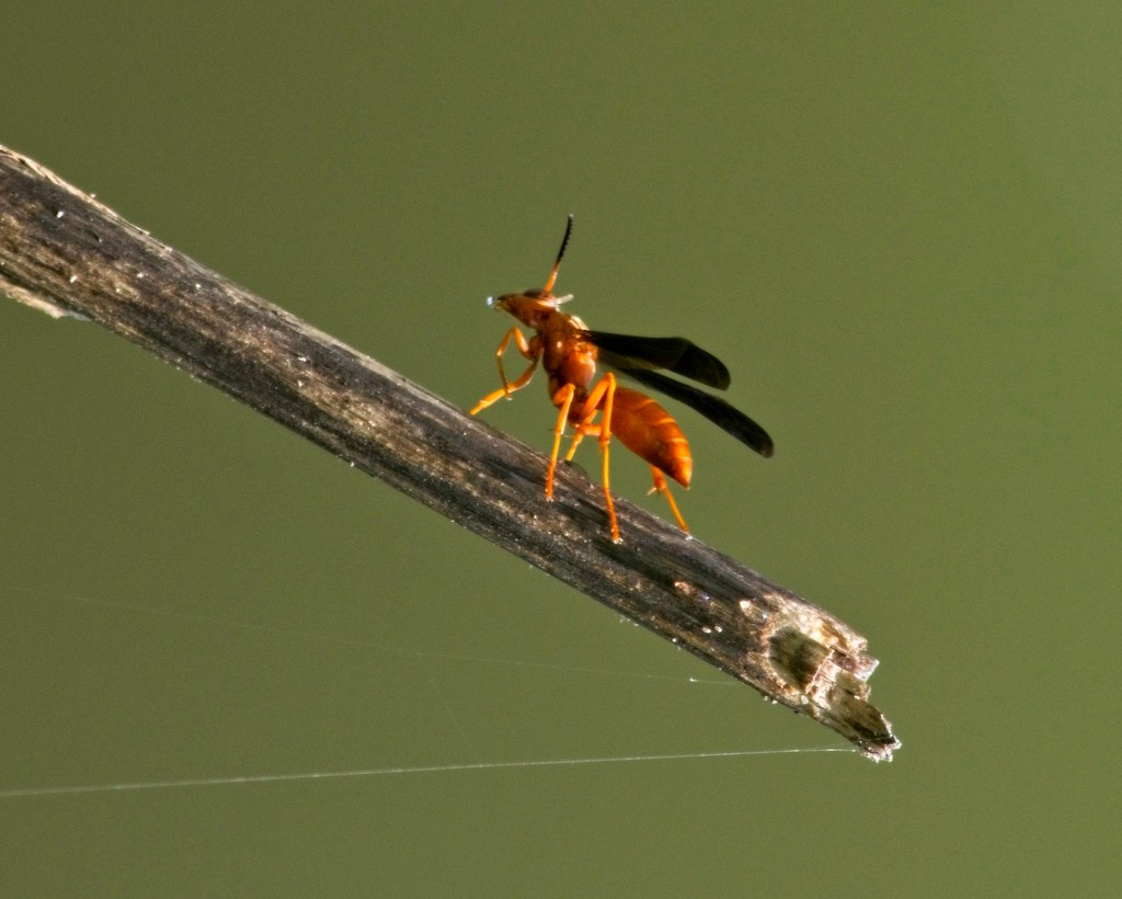 LHG-9689- Prancing red wasp by rontu