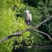 King Heron of Lake Hallowell by marylandgirl58