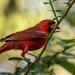 Cardinal Grabbing a Bite!