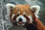 14th Jul 2020 - Leo The Red Panda