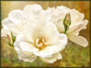 11th Jul 2020 - Roses