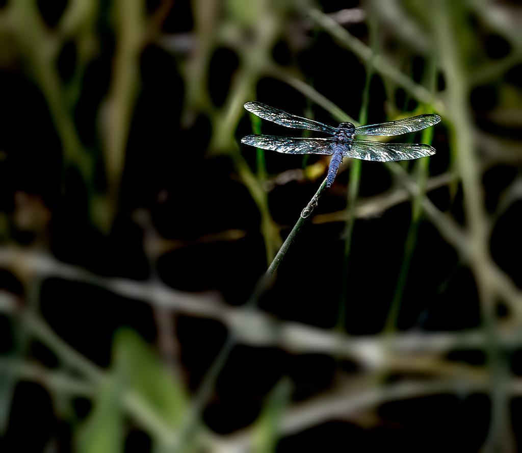 Dragonfly (?) by joansmor