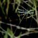 Dragonfly (?)