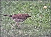 11th Jul 2020 - RK3_0931 Nice to see a thrush