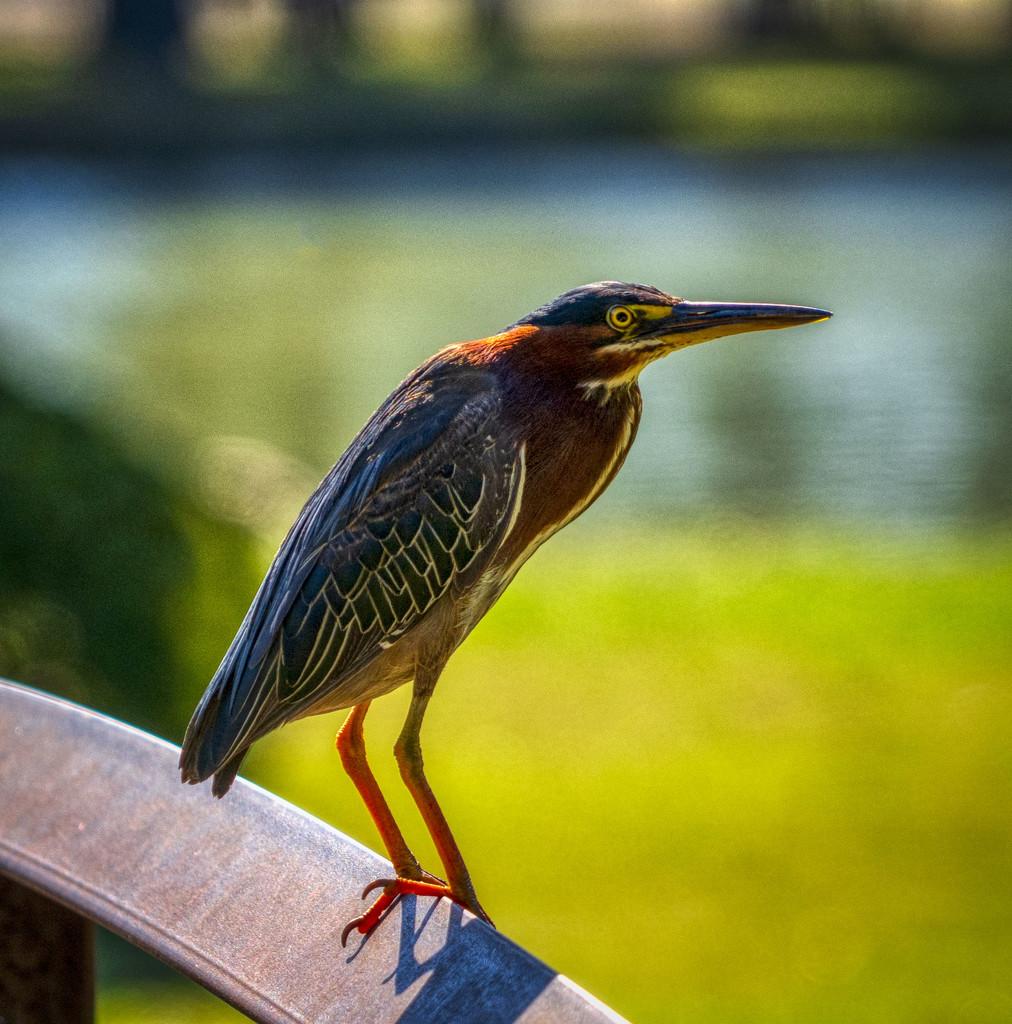 Green Heron by kvphoto