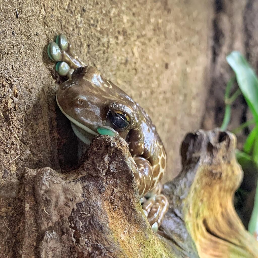 Milk frog.  by cocobella