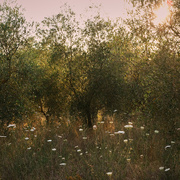 11th Jul 2020 - Olive grove