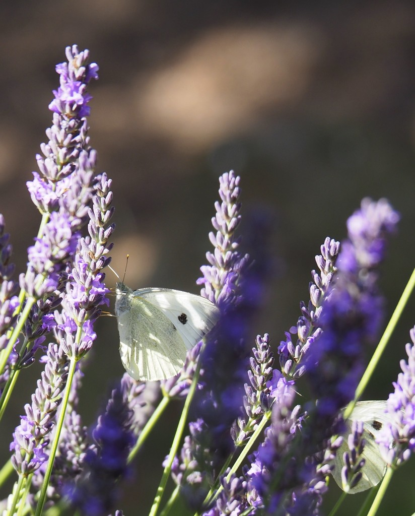 White Butterfly by s4sayer