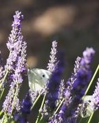 11th Jul 2020 - White Butterfly