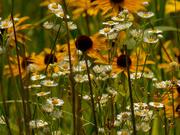 11th Jul 2020 - daisy fleabane