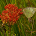 clouded sulphur on butterfly milkweed