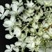 Chantilly Lace Hydrangea