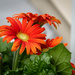 Floral Afternoon (Gerber Daisy Orange)