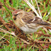 Redpoll eating weed seeds