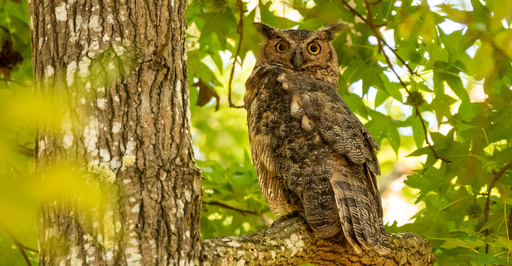 Great Horned Owl! by rickster549