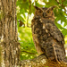 Great Horned Owl!