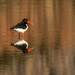 South Island Pied Oystercatcher by maureenpp