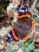 12th Jul 2020 - Red Admiral
