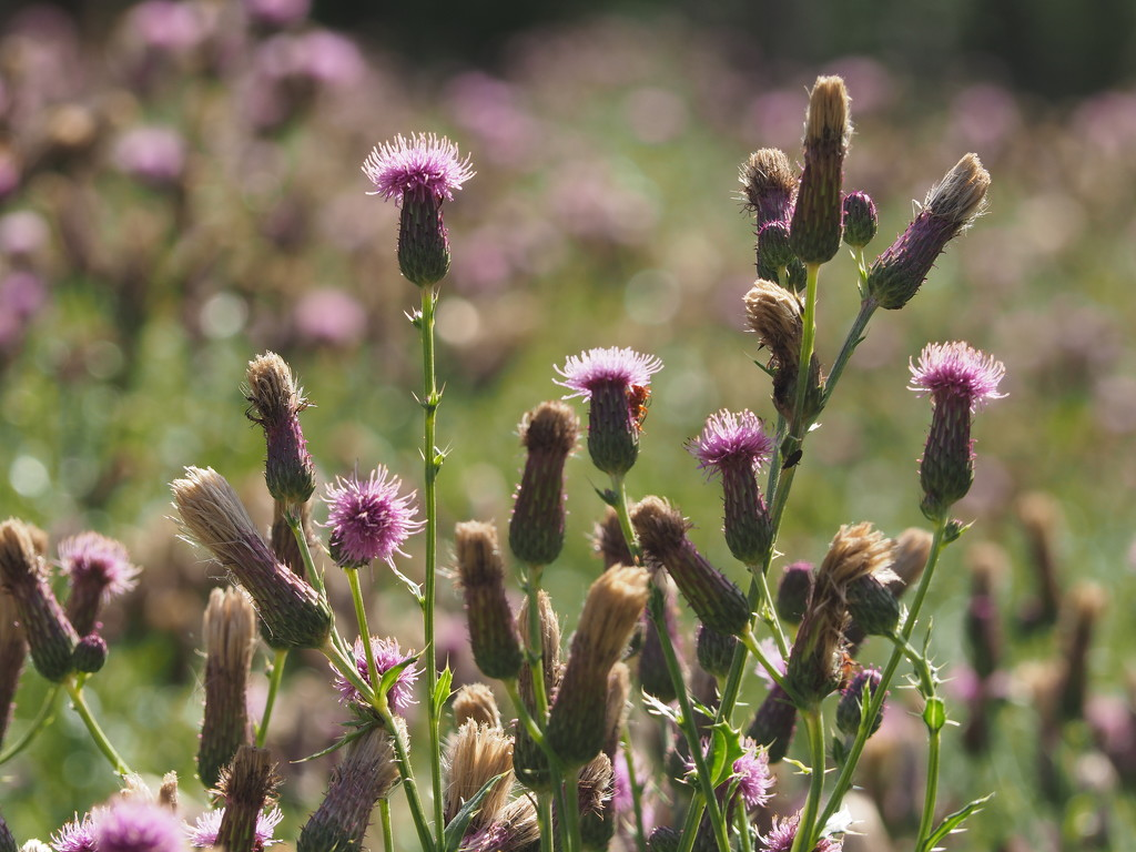 Thistles by jacqbb