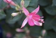 12th Jul 2020 - fuchsia in pink