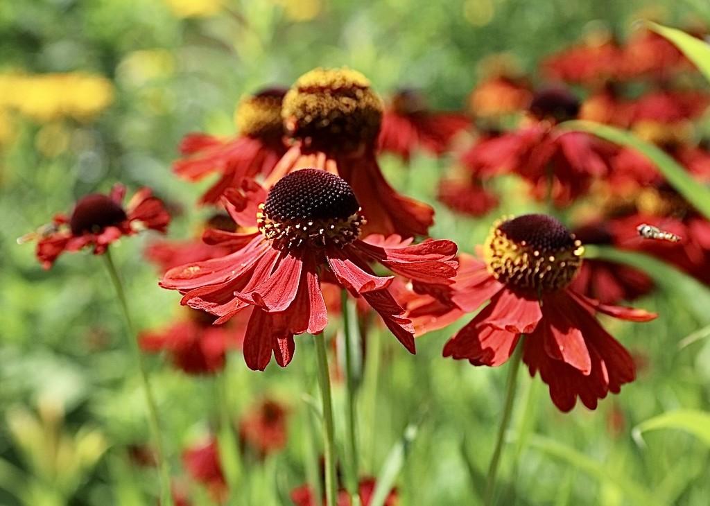 Cone Flowers by carole_sandford