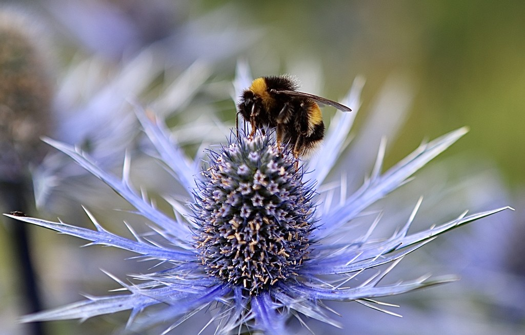 Bee & Sea Holly by carole_sandford
