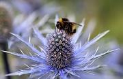 12th Jul 2020 - Bee & Sea Holly