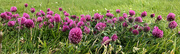 12th Jul 2020 - Red Clover