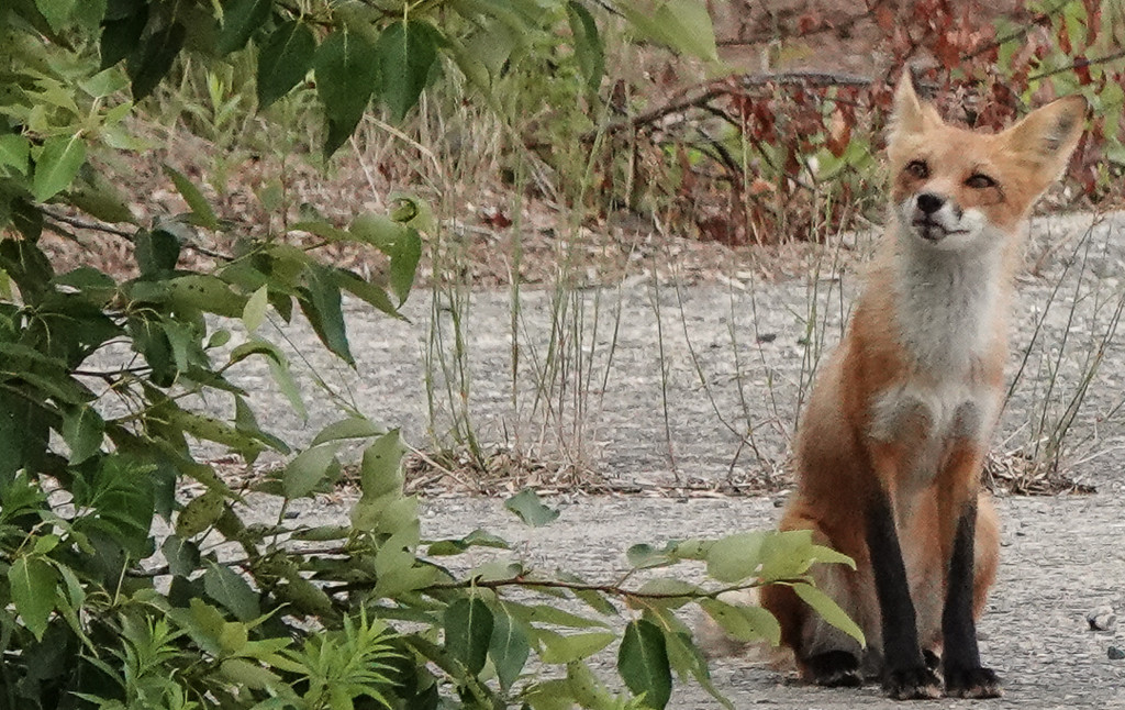 Curious Fox  by radiogirl