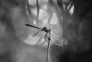 10th Jul 2020 - monochrome dragonfly