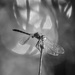 monochrome dragonfly