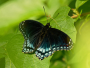 12th Jul 2020 - red-spotted admiral butterfly