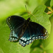 red-spotted admiral butterfly