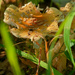 blusher mushroom