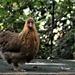 RK3_1211 Isn't she a sweet little hen