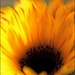 Sunflower Flames by olivetreeann