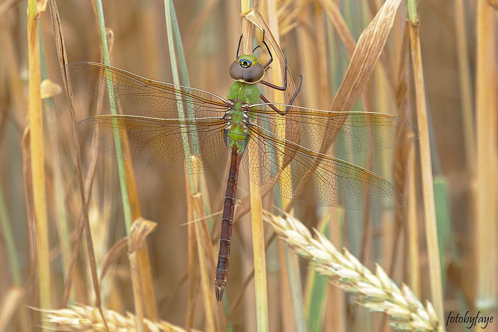 Green Darner Dragonfly by fayefaye