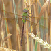 Green Darner Dragonfly by fayefaye