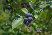 12th Jul 2020 - Fresh blueberries...