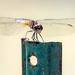 The dragonflies swarm the vegetable garden.